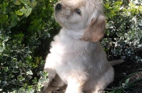 labradoodle-pups-004